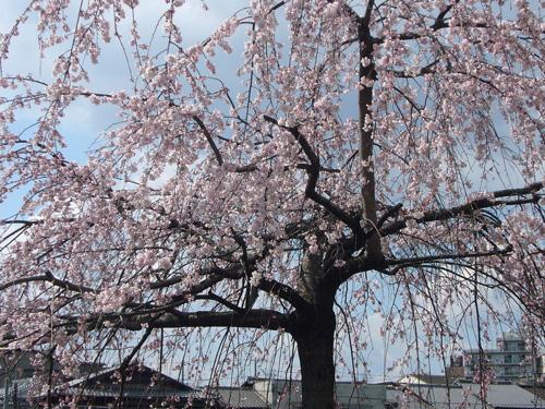 images/sakura.jpg